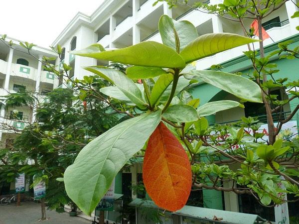 Tả cây bàng trên sân trường em